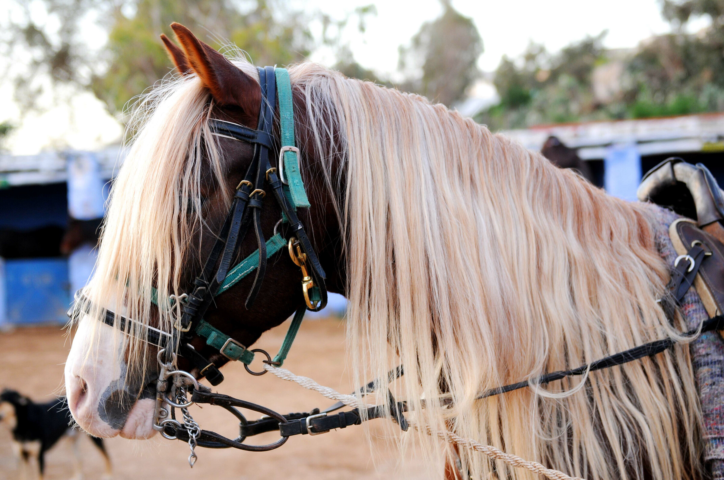 The Arab Berber horse: from antiquity to today