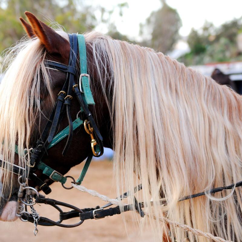 Das Araber-Berber-Pferd: Von der Antike bis heute